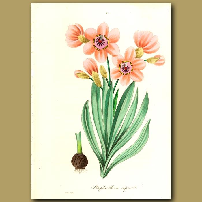 Antique print. Copper-Coloured Streptanthera