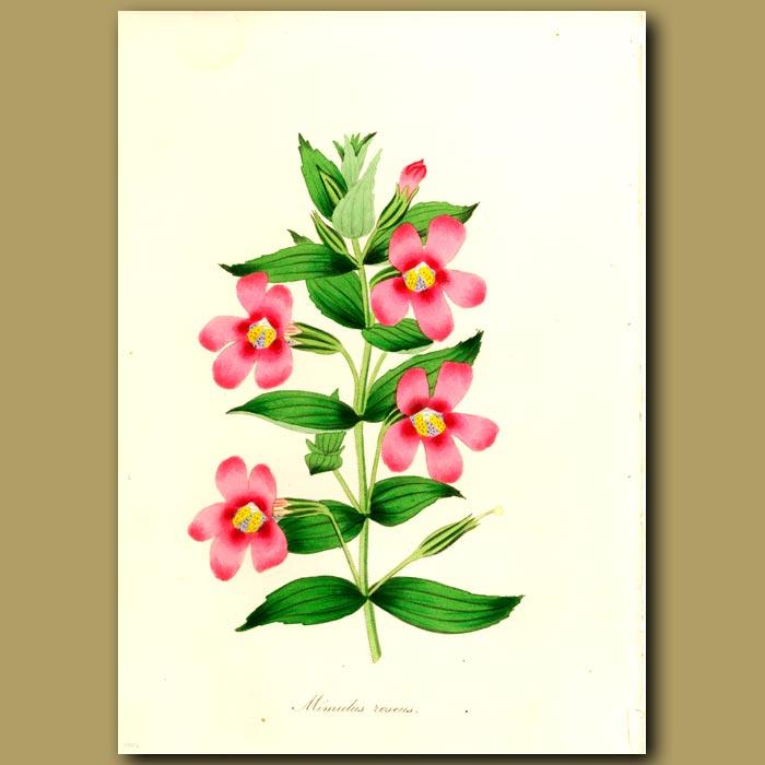 Antique print. Rosy Monkey Flower