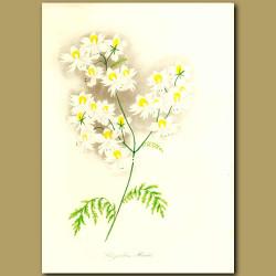 Priest's White Flowering Schizanthus