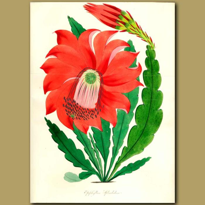 Antique print. Splendid Epiphyllum Cactus. (Double sized fold out print)