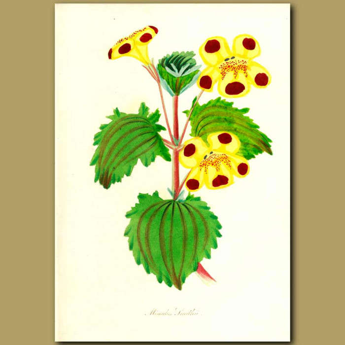 Antique print. Mr. Smith's Monkey Flower