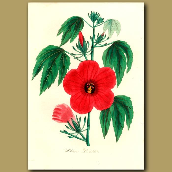 Antique print. Mr. Lindeley's Hibiscus