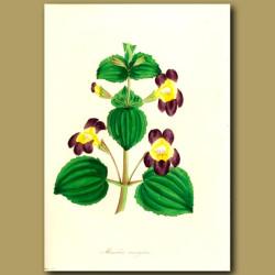 Variegated Monkey Flower