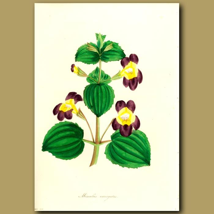 Antique print. Variegated Monkey Flower