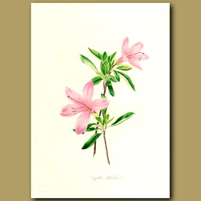 Antique print. Pretty Azalea