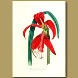Crimson Jacobean Amaryllis Lily