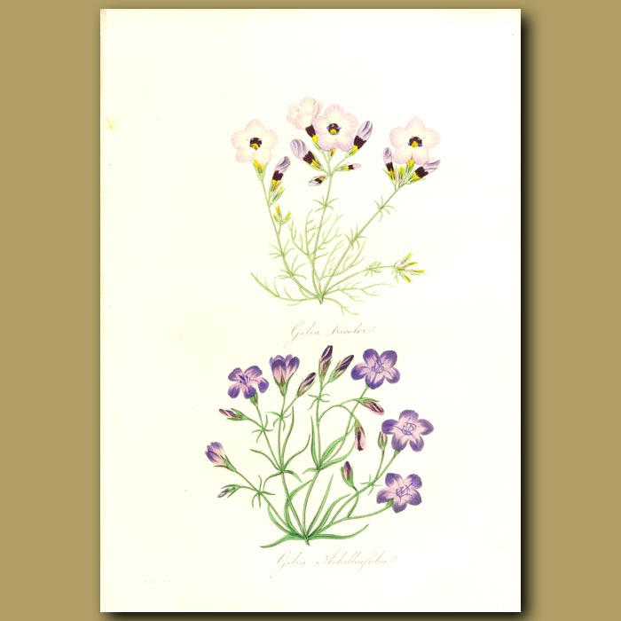 Antique print. Three-Coloured Gilia