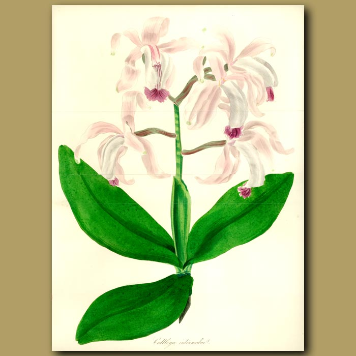 Antique print. Middle Sized Flowered Cattleya Orchid.(Double sized fold out print)