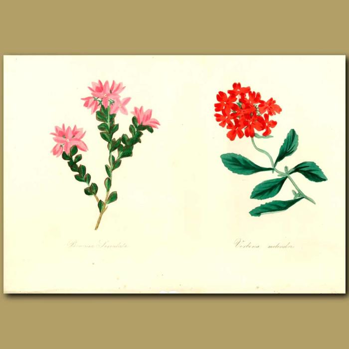 Antique print. Verbena and Saw-Leaved Boronia