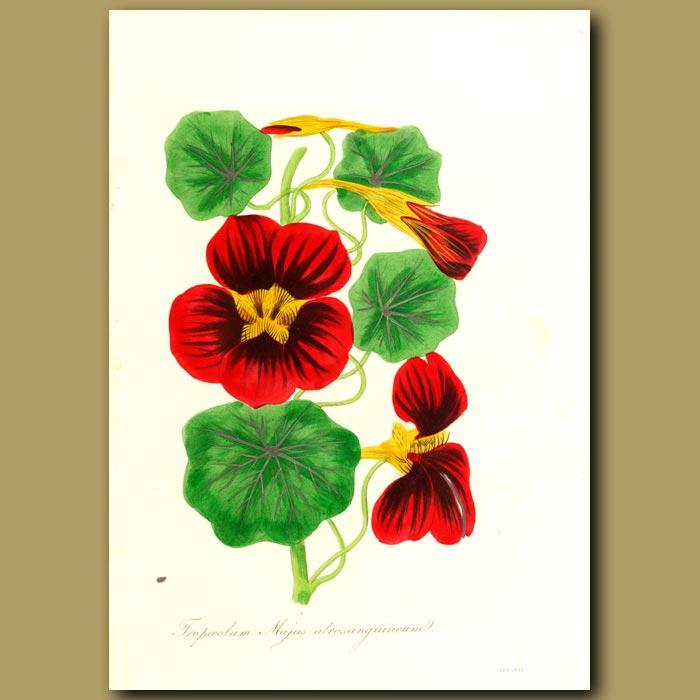 Antique print. Dark Red Indian Cress (Nasturtium)
