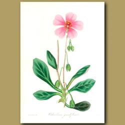Great Flowered Calandrinia