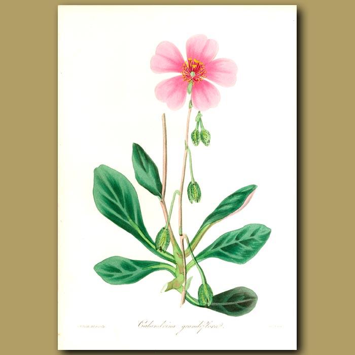 Antique print. Great Flowered Calandrinia