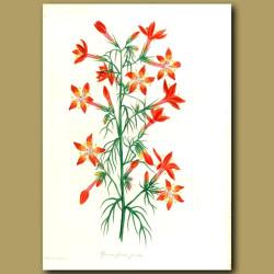 Painted Flowered Ipomopsis