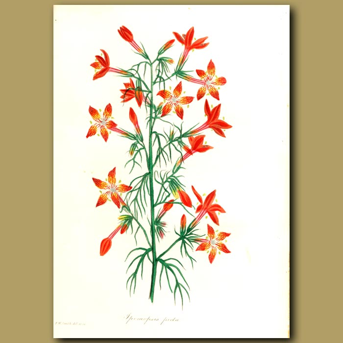 Antique print. Painted Flowered Ipomopsis