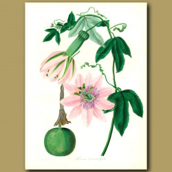 Passion Flower. (Double sized fold out print)