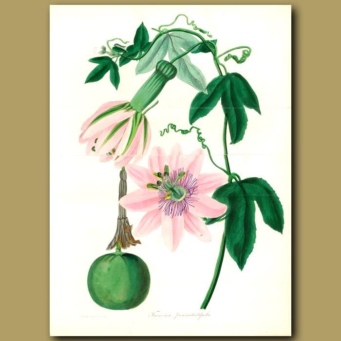 Antique print. Passion Flower. (Double sized fold out print)