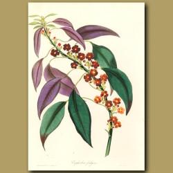 Fulgent Euphorbia
