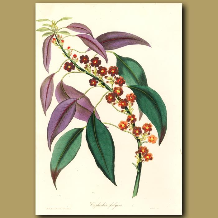 Antique print. Fulgent Euphorbia
