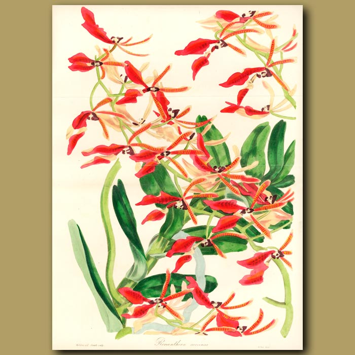 Antique print. Chinese Scarlet-Flowered Air Plant. (Double sized fold out print)