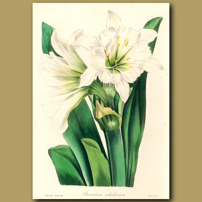 Antique print. Cup-Flowered Sea Daffodil