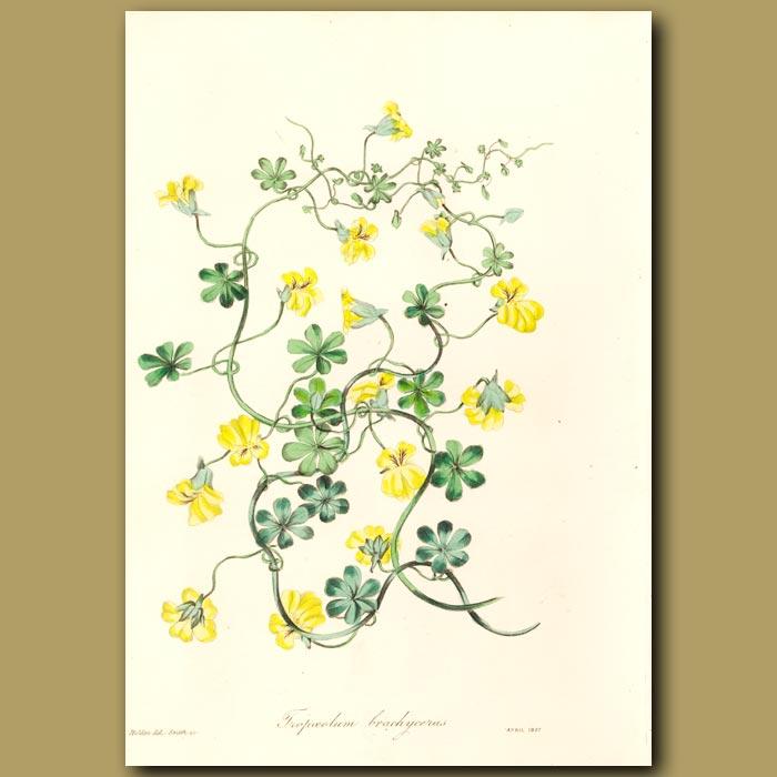 Antique print. Short-Spurred tropaeolum