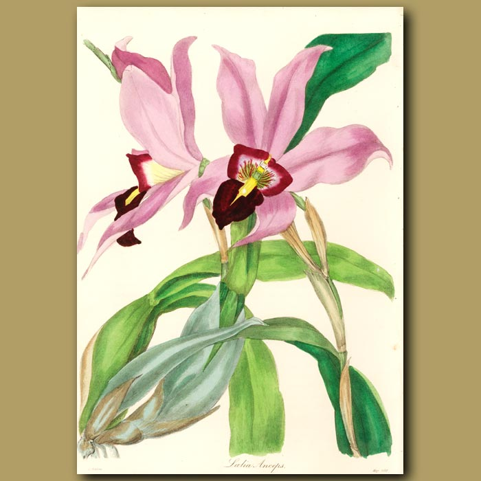 Antique print. Two-Edged Laelia Orchid