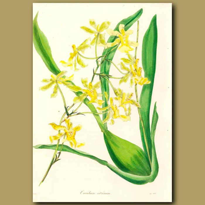 Antique print. Lemon Colored Oncidium Orchid
