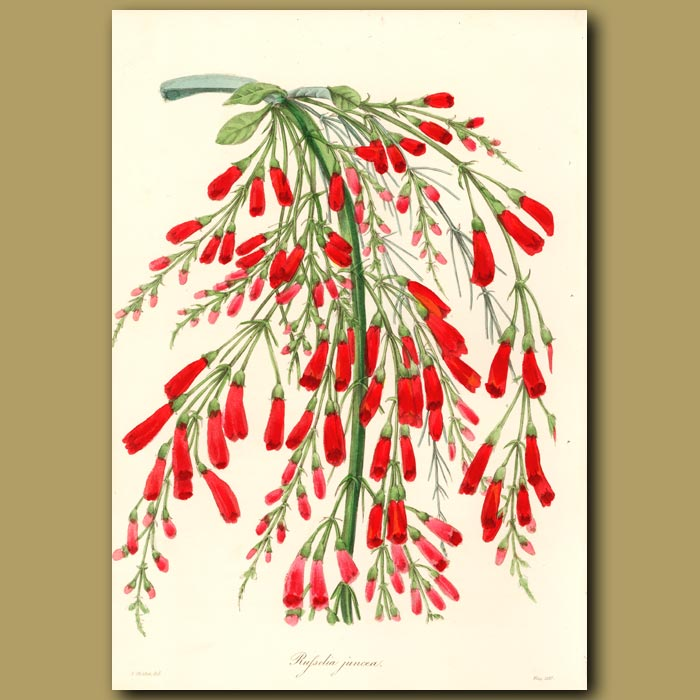 Antique print. Rushy-Branched Russelia