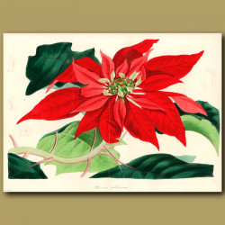 Showy Poinsettia (double sized fold out print)