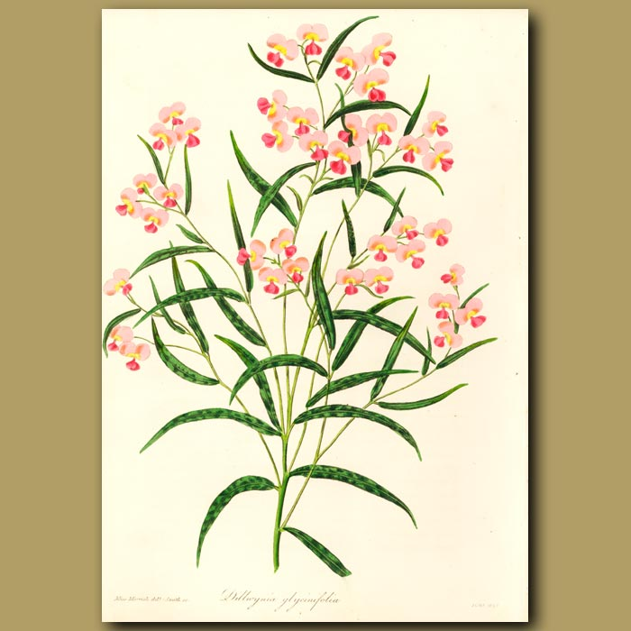 Antique print. Glycine-Leaved Dillwynia