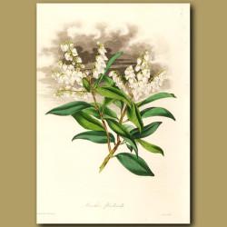 Bundle Flowered Leucothea
