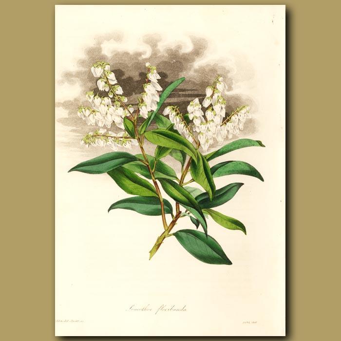 Antique print. Bundle Flowered Leucothea