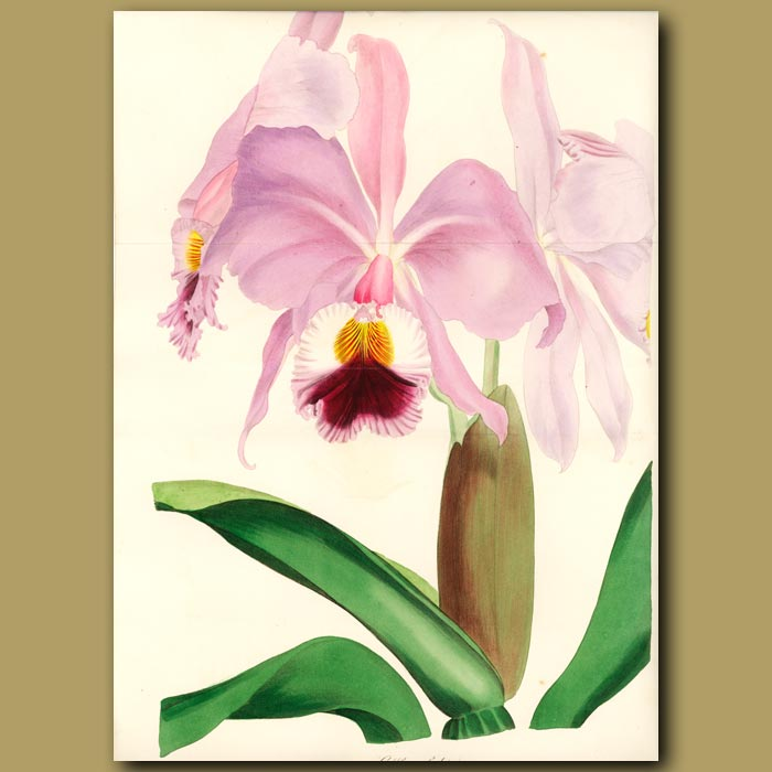 Antique print. Crimson-Lipped Cattleya (double sized fold out print)