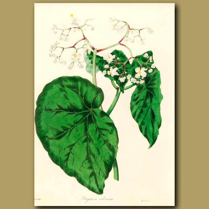 Antique print. Sweet Scented Begonia