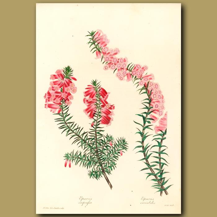 Antique print. Common Australian Heath