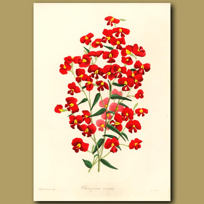 Antique print. Holly Flame Pea