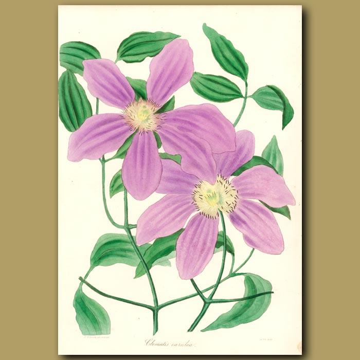 Antique print. Violet Clematis