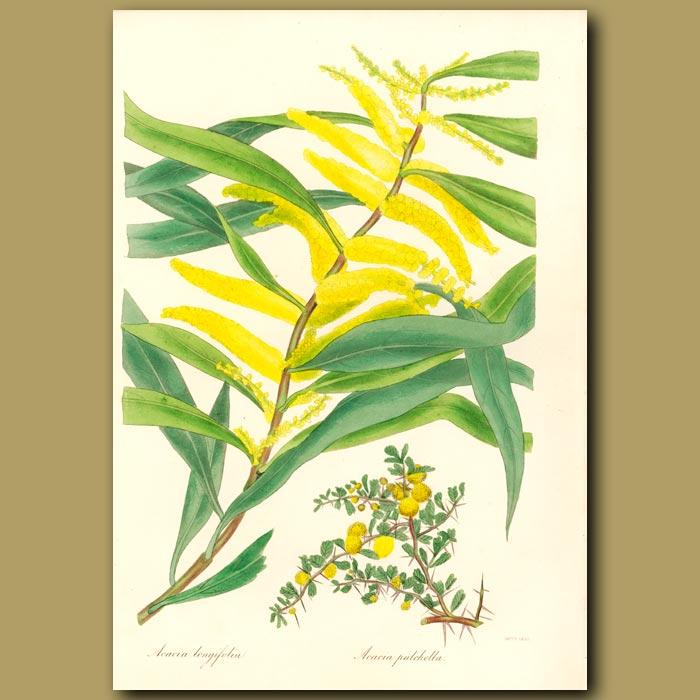 Antique print. Long Leaved Acacia