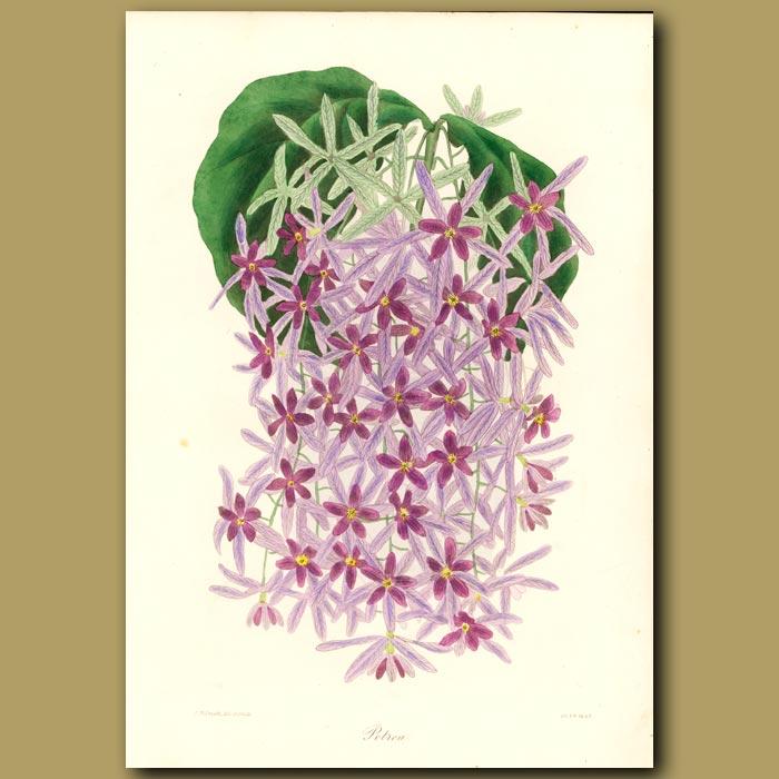 Antique print. Stapelia Flower Petrea