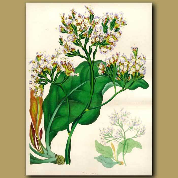Antique print. Arboreus Statice (double sized foldout print)