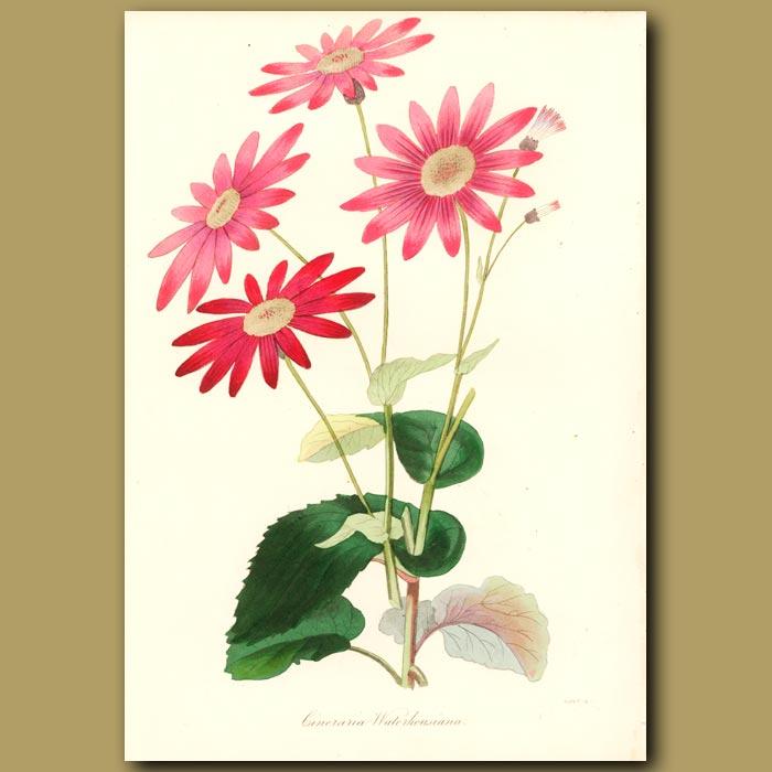 Antique print. Waterhouse's Hybrid Cineraria