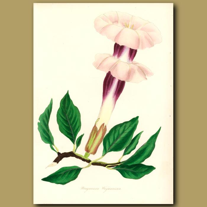 Antique print. Wayman's Brugmansia
