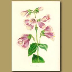 Cobaea Flowered Pentstemon