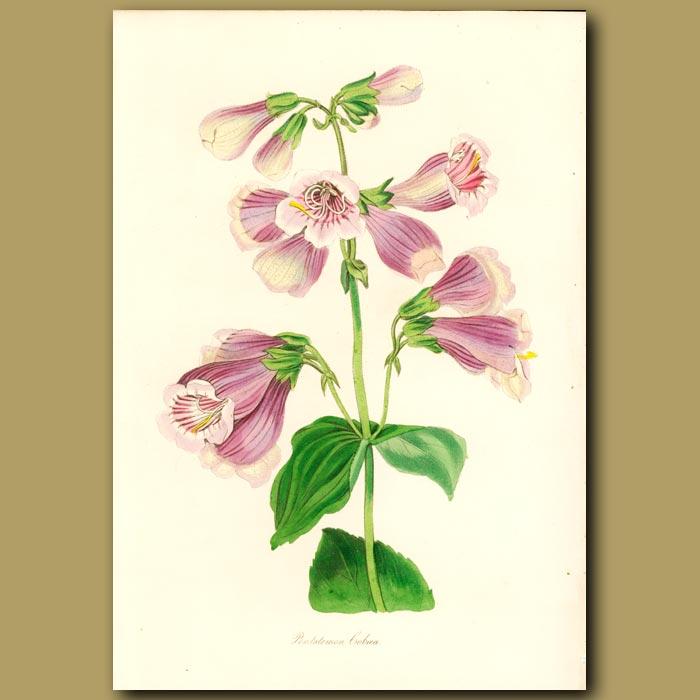 Antique print. Cobaea Flowered Pentstemon