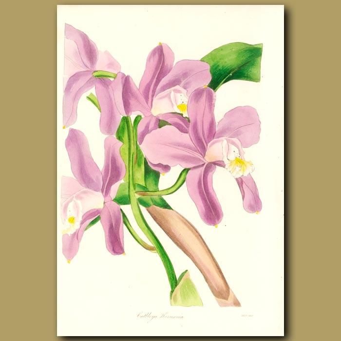 Antique print. Mrs Harrison's Cattleya Orchid