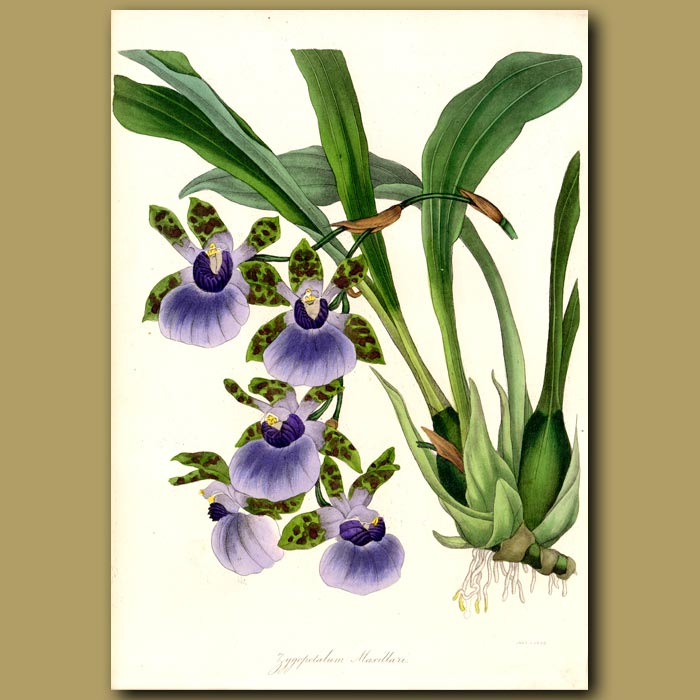 Antique print. Tooth-like Flowered Zygopetalum Orchid