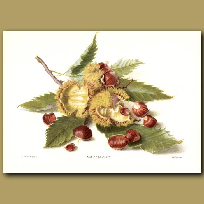 Antique print. Sweet Chestnuts