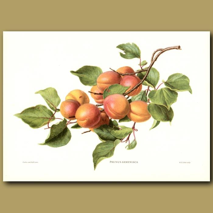 Antique print. Apricots