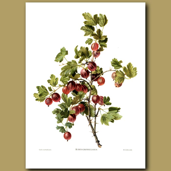Antique print. Gooseberries