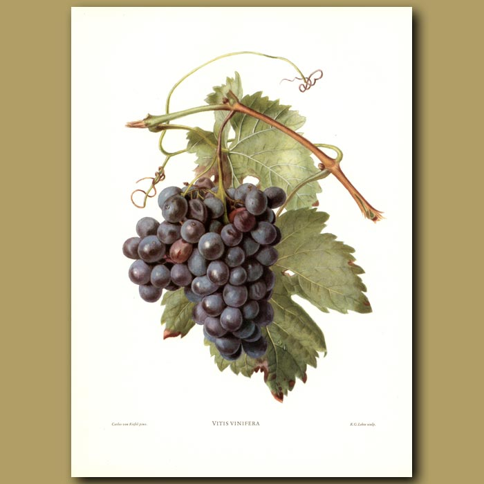 Antique print. Wine Grapes